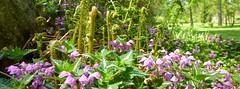 Spring ferns and Lamium, 2013