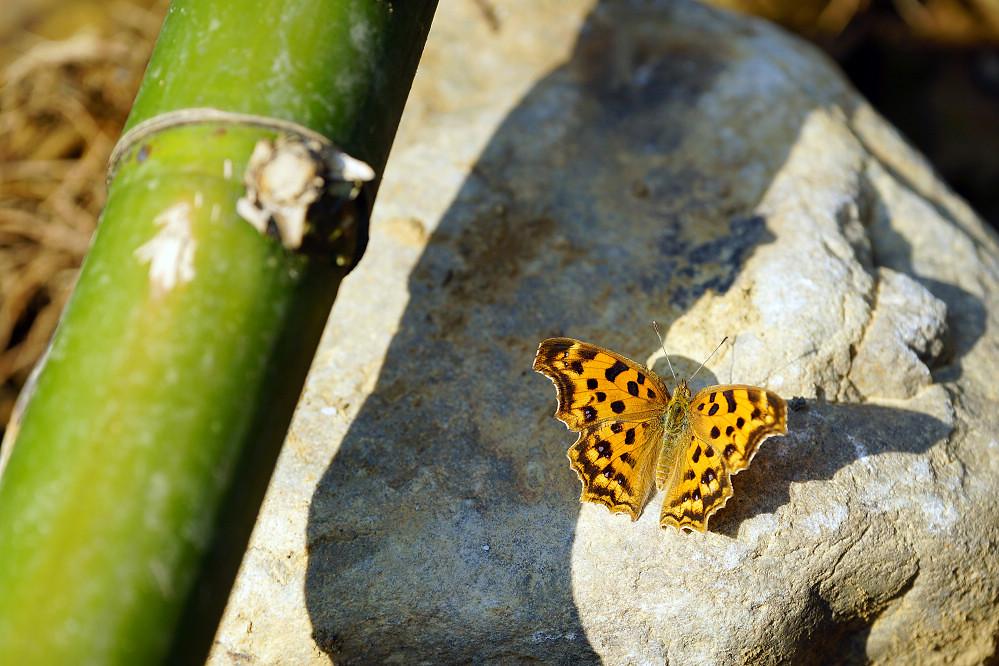 鉤蛺蝶屬黃鉤蛺蝶-3