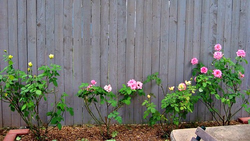 A Few Roses