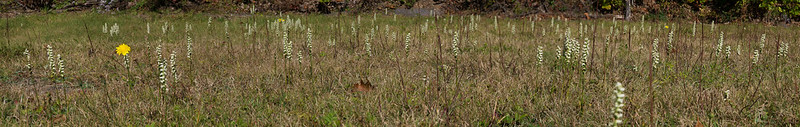 Field of Spiranthes