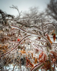 Ice on Japanese Maple