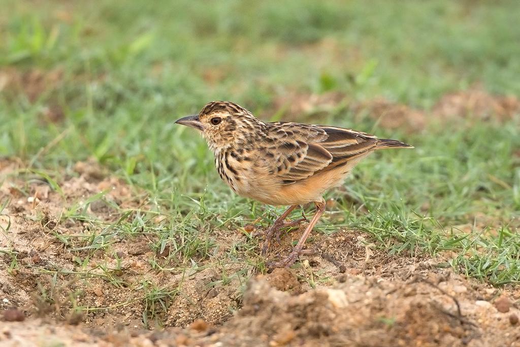 Jerdon's Bushlark Sri Lanka 2013-11-29