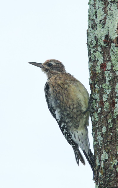 Yellow-bellied Sapsucker 4-20131225