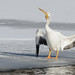 Pelican Swallow_42403.jpg
