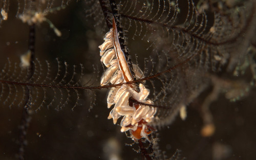 ホリミノウミウシ属の一種?