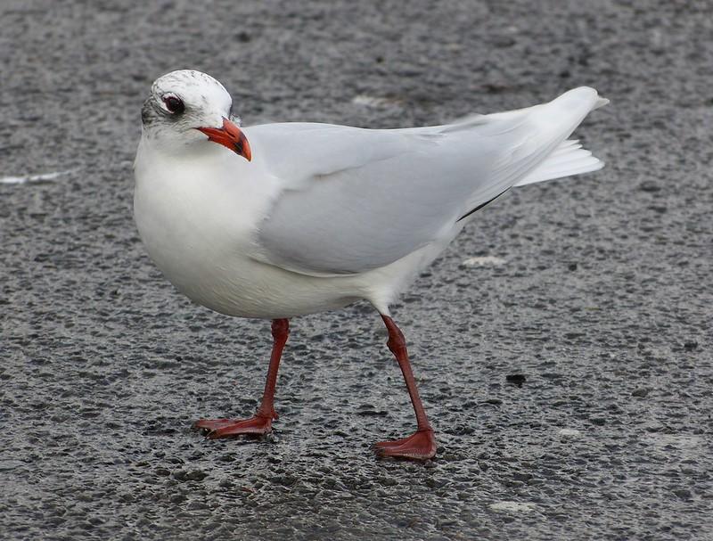 P1060776 - Mediterranean Gull, Bracelet Bay