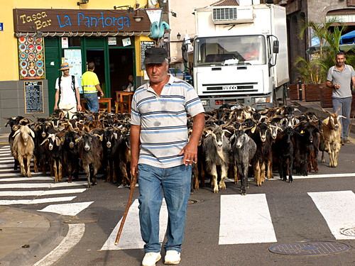 Midsummer bathing of goats, Puerto de la Cruz