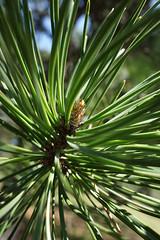 Pinus pungens (Table Mountain Pine)