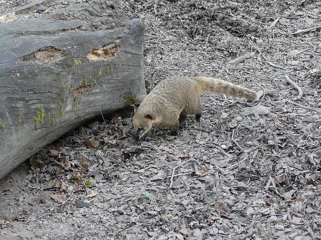 Nasenbär, Zoo Karlsruhe