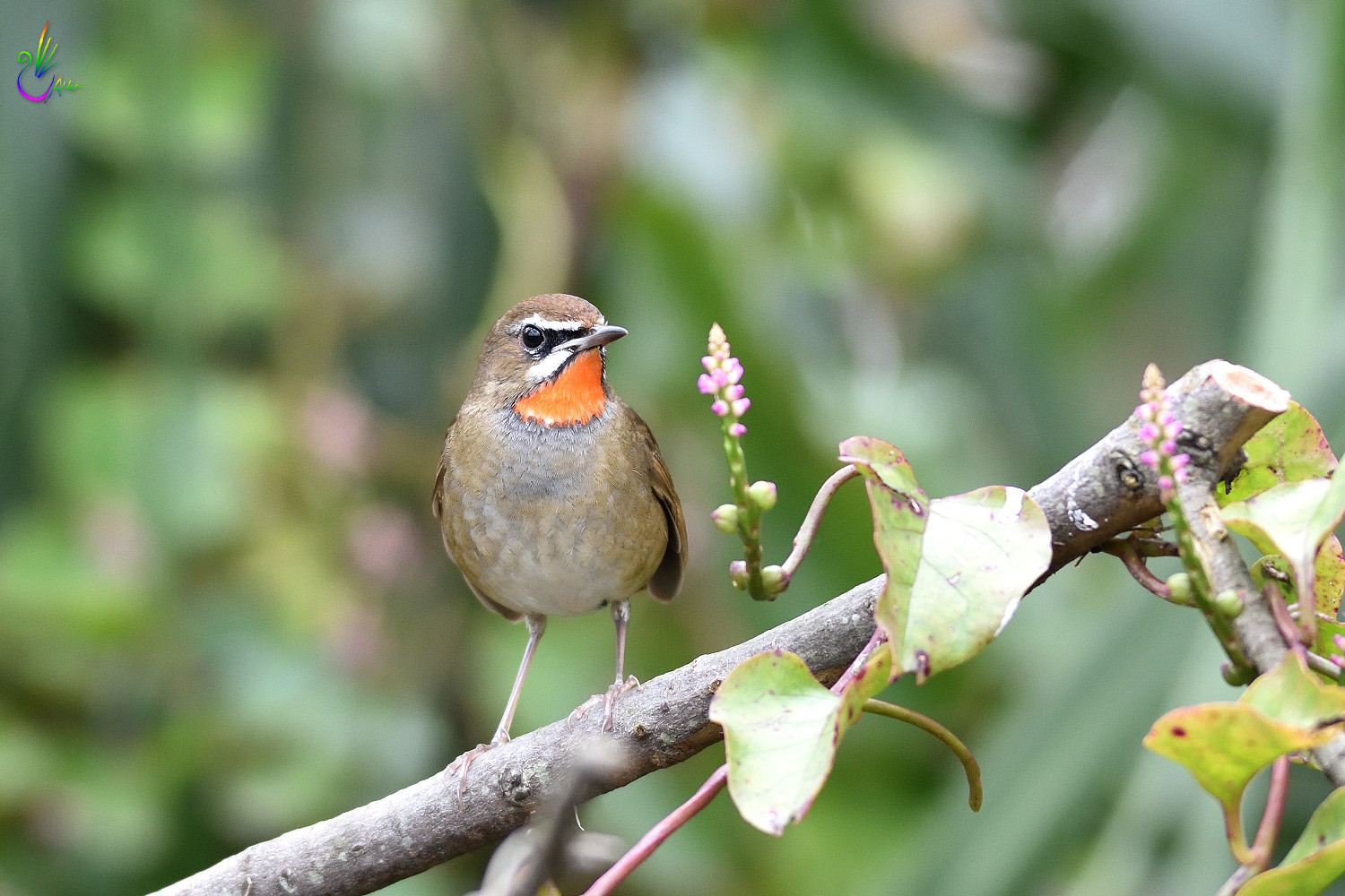 Rubythroat_7484