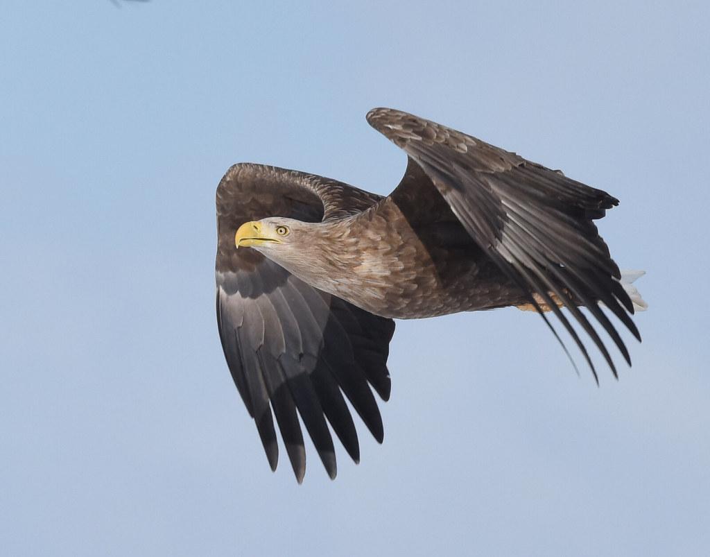A white-tailed sea eagle in flight (2)