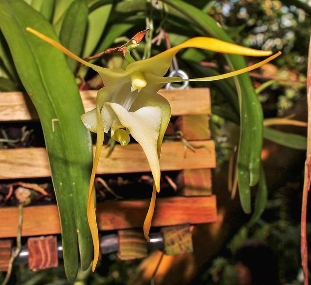Aeranthes grandiflora; Orchidaceae (1)