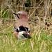 Small photo of Eurasian Jay ( Garrulus glandarius)