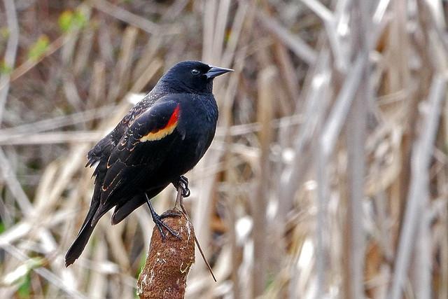 Red-winged_Blackbird_P1150518_edited-1, Panasonic DMC-G85, LEICA DG 100-400/F4.0-6.3