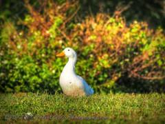 2017-03-24_P3240128_ American Pekin duck,Crescent Lake_2