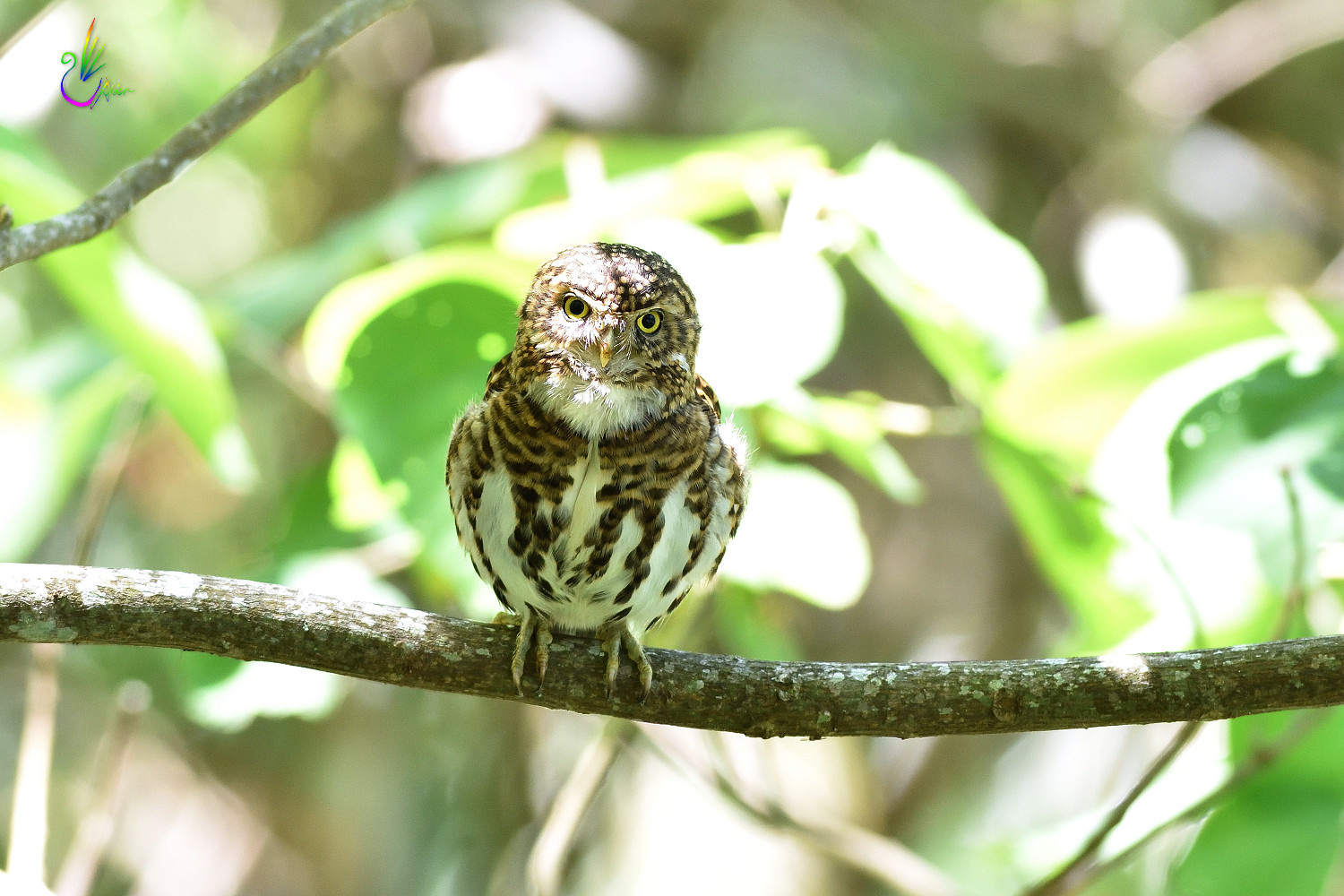 Collared_Pigmy_Owlet_4232