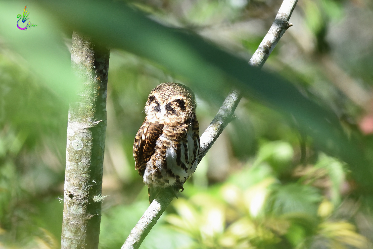 Collared_Pigmy_Owlet_4133