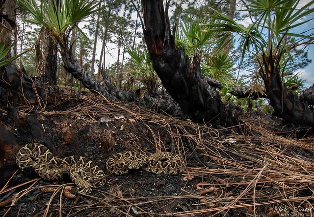 Eastern Diamondback Rattlesnakes