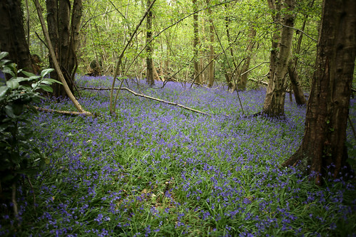 Bluebells in woodland near Oxted