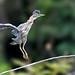 """""""Birds In Focus"""" has added a photo to the pool:MartineteNombre en inglés: Green HeronNombre científico: Butorides virescensFamilia Taxonómica: ArdeidaeFotografiado en: Reserva de Vida Silvestre Embalse Cerrillos en Ponce, Puerto Rico"""