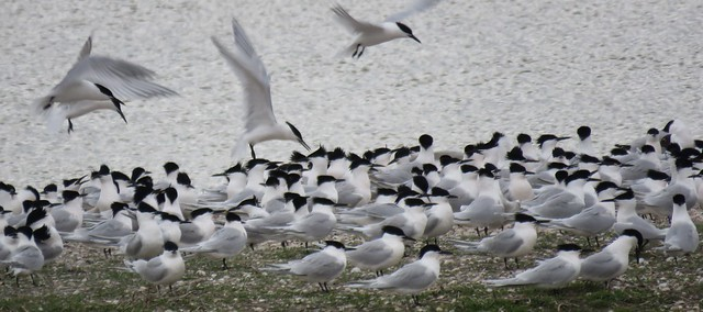 Birds of Texel (Sandwich terns/Grote sterns in de avondschemering, op een klein eiland in het natuurgebied Wagejot)