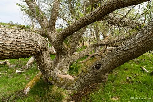 flora natur sverige träd kungälv västragötalandslän
