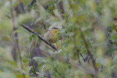 Common Yellowthroat Female-44615.jpg