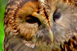 フクロウ görüntü. cute bird animal animals japan zoo tokyo raptor owl tama 東京 lovely hino barnowl 動物 動物園 鳥 zoological かわいい フクロウ 可愛い 多摩動物公園 tamazoo tamazoologicalpark カワイイ 梟 日野市 多摩動物園 猛禽類 メンフクロウ 面梟