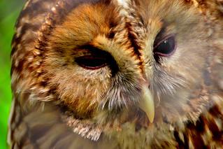 Image of フクロウ. cute bird animal animals japan zoo tokyo raptor owl tama 東京 lovely hino barnowl 動物 動物園 鳥 zoological かわいい フクロウ 可愛い 多摩動物公園 tamazoo tamazoologicalpark カワイイ 梟 日野市 多摩動物園 猛禽類 メンフクロウ 面梟