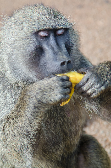 Baboon Banana Delight