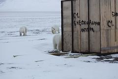 Alexander Gruzdev - Wrangel Island polar bears