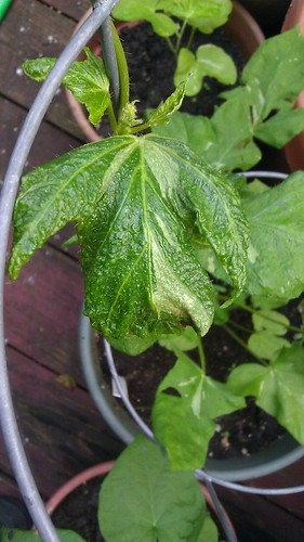 Ipomoea nil Kyoto Green Leaf # 122 by Gerris2