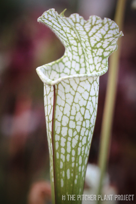 Sarracenia 'Hurricane Creek White' - Clone D