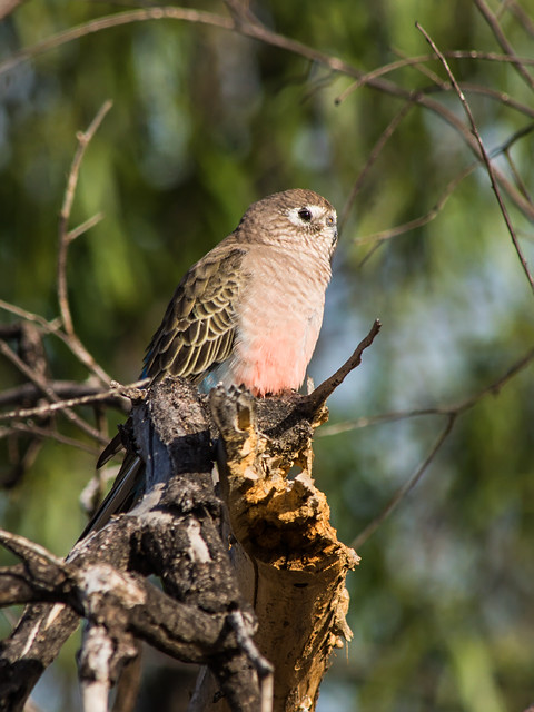 Bourke's Parrot (Neophema bourkii), Sony SLT-A77V, Tamron SP AF 200-500mm F5.0-6.3 Di LD IF