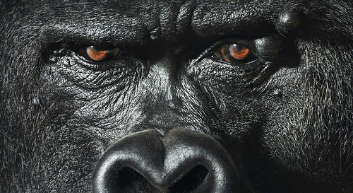 Tim Flach ape gorilla