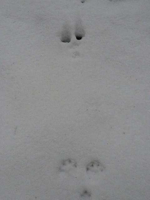 ウサギの足跡.急斜面だったせいか足跡の間が広かった.