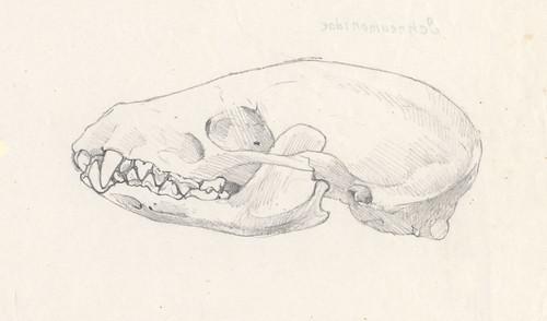 fig4. 鼬獾的頭骨。