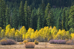Aspen Trees, Warner Mountains