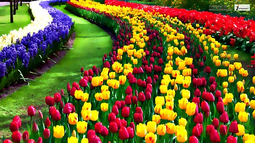 Beautiful Natural Flowers Wallpapers Beautiful Nature Flower Tulip