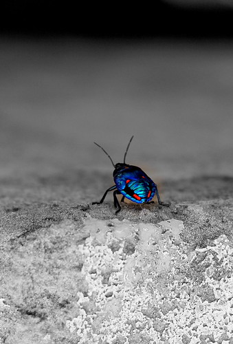 IMG 6909.1 Harlequin Beetle in the Spotlight