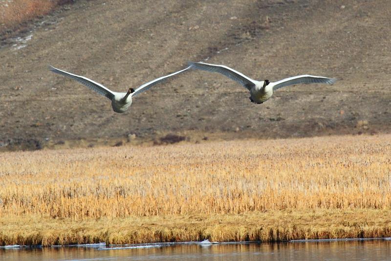 IMG_9082 Trumpeter Swan
