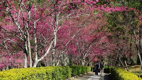 櫻花園盛開。(圖片來源:南投林管處)