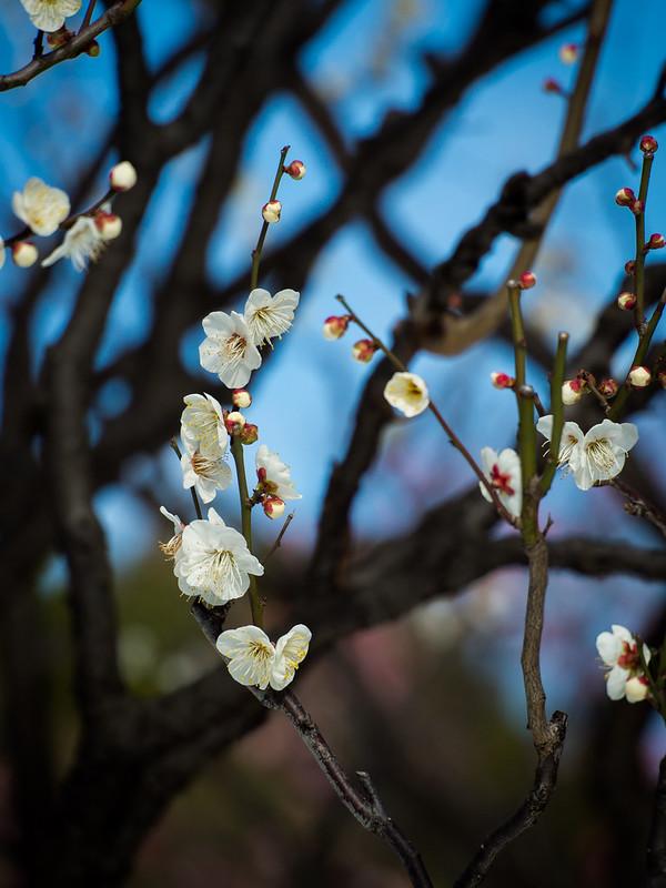 White plum flowers_20140209