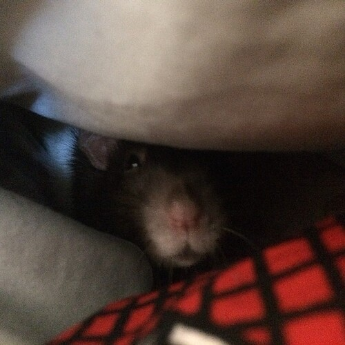 Peri in the pillow fort
