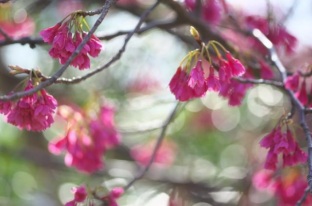 浜離宮恩賜庭園の菜の花 2014年3月22日