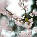 Cherry blossoms with Japanese White-eye by myu-myu