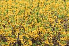 Golden bells / Forsythia viridissima / 支那連翹(しなれんぎょう)