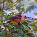 Pink-headed Warbler by *Ryan Shaw