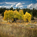 big sky stand of trees, montana by jody9