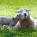 Lambing love by *Hairbear